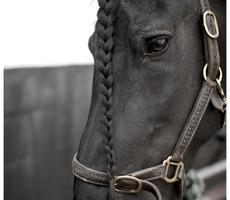 Friesenhof Bries - Geel - Friese paarden